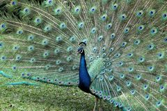 Beautiful Peacock in a Zoo Royalty Free Stock Images