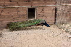 Beautiful peacock is in the zoo outdoors Royalty Free Stock Photo