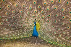 A beautiful peacock at the zoo. stock photo