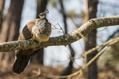 Beautiful peahen roosting in forest landscape Stock Images