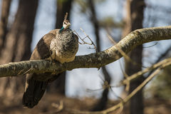 Beautiful peahen roosting in forest landscape Royalty Free Stock Images