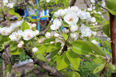 Beautiful pear blossom flowers Royalty Free Stock Image