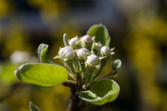 Beautiful pear tree blossoms on a natural background Royalty Free Stock Photography