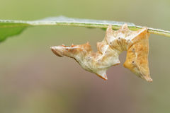 A beautiful Pebble Prominent Moth Caterpillar Notodonta ziczac feeding on a leaf. Royalty Free Stock Photo
