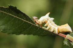 A beautiful Pebble Prominent Moth Caterpillar Notodonta ziczac feeding on a willow leaf. Royalty Free Stock Photography