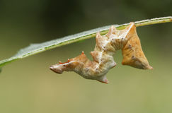 A beautiful Pebble Prominent Moth Caterpillar Notodonta ziczac resting during the day on a leaf. Stock Photo