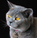 Beautiful pedigree british shorthair cat. Photo of a beautiful blue and cream pedigree british shorthair cat with outstanding bright orange eyes Stock Images