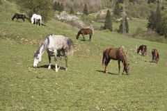 Beautiful pedigree horses on hill Royalty Free Stock Photo