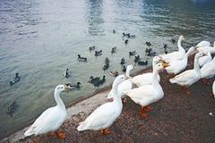 Beautiful Pekin ducks pack Stock Images