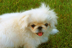 Beautiful pekingese stock photography
