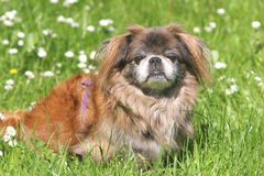 Beautiful Pekingese. Pekingese dog in the grass Royalty Free Stock Photos