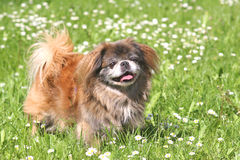 Beautiful Pekingese Stock Image