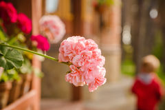 Beautiful pelargonium flowers in backyard Royalty Free Stock Photography