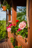 Beautiful pelargonium flowers in backyard Royalty Free Stock Images