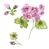 Beautiful pelargonium flowers on stems with green leaves and closed buds isolated on white background. Botanical set. Watercolor painting. Hand painted floral royalty free illustration