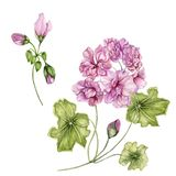 Beautiful pelargonium flowers on stems with green leaves and closed buds isolated on white background. Botanical set. Watercolor painting. Hand painted floral stock illustration