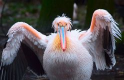 Beautiful pelican Royalty Free Stock Images