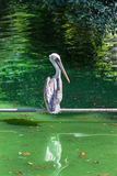 Beautiful pelican. On a background of green water Royalty Free Stock Image