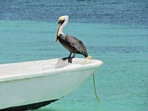 Beautiful pelican on the boat in the caribbean sea stock photo