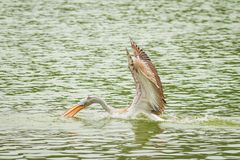 The beautiful Pelican catching the fish Royalty Free Stock Photos