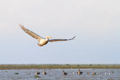 Beautiful pelican in flight Stock Image