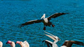 Beautiful pelican grounding to the lake side, big wings, proudly. Bird, Sigean, France Stock Image
