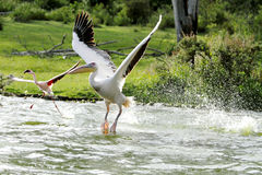 Beautiful Pelican's takeoff from water Stock Photography