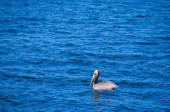 Beautiful Pelican Stock Images