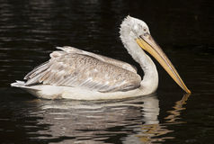 Beautiful Pelican Royalty Free Stock Photo