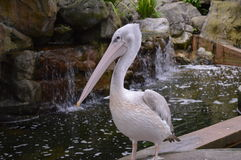Beautiful pelican. A beautiful pelican which seems to be posing for the photo. High quality Stock Photo