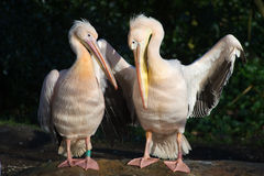 Beautiful pelicans Royalty Free Stock Photography