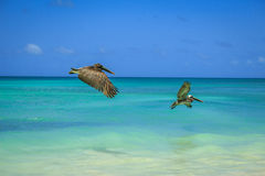 Beautiful Pelicans Royalty Free Stock Photo