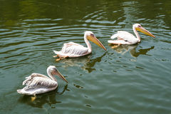 Beautiful Pelicans. Pelicans swimming in the water Royalty Free Stock Images