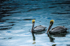 Beautiful pelicans symbolizing love Royalty Free Stock Photography