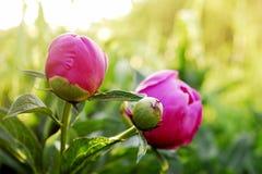 Peon. Beautiful Peon in my garden Stock Photo
