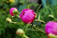 Peon. Beautiful Peon in my garden Stock Photos