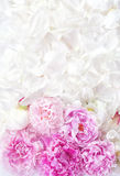 Beautiful peonies Royalty Free Stock Photos