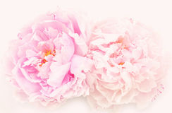 Beautiful peonies Stock Image