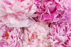 Beautiful peonies Stock Photos