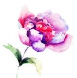 Beautiful Peonies flowers Stock Photos