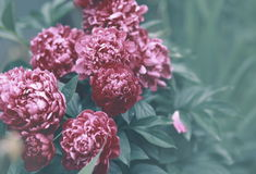Beautiful peonies flowers color Royalty Free Stock Photography