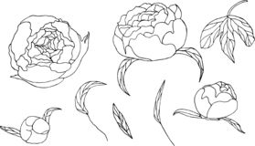 Beautiful peonies. Flowers in color.  Peony bouquet stock illustration