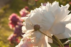 Beautiful peonies in the park flowering in the summer park or in the garden. Beautiful fluffy peonies on a flower bed in the sunlight in a summer park royalty free stock photography
