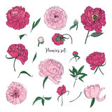 Beautiful peonies set. Hand drawn blossom flowers, buds and leaves. Colorful vector illustration collection. Beautiful peonies set. Hand drawn blossom flowers Stock Images