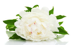 Beautiful peony Stock Photography