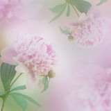 Beautiful peony background Royalty Free Stock Photo