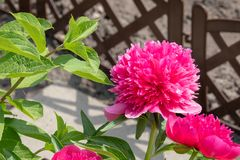 Beautiful peony blooming in allotment Royalty Free Stock Photography