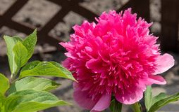 Beautiful peony blooming in allotment Stock Image
