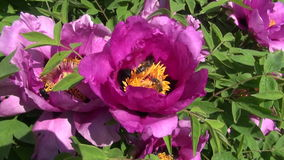 Beautiful peony blossom in garden and  bee stock footage
