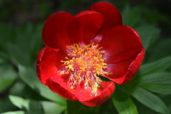 Beautiful Peony blossom. Under the sun says in the forest Royalty Free Stock Photography
